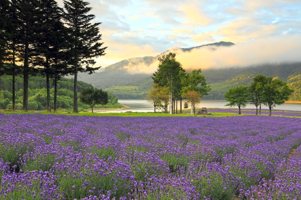 ラベンダー畑と湖畔