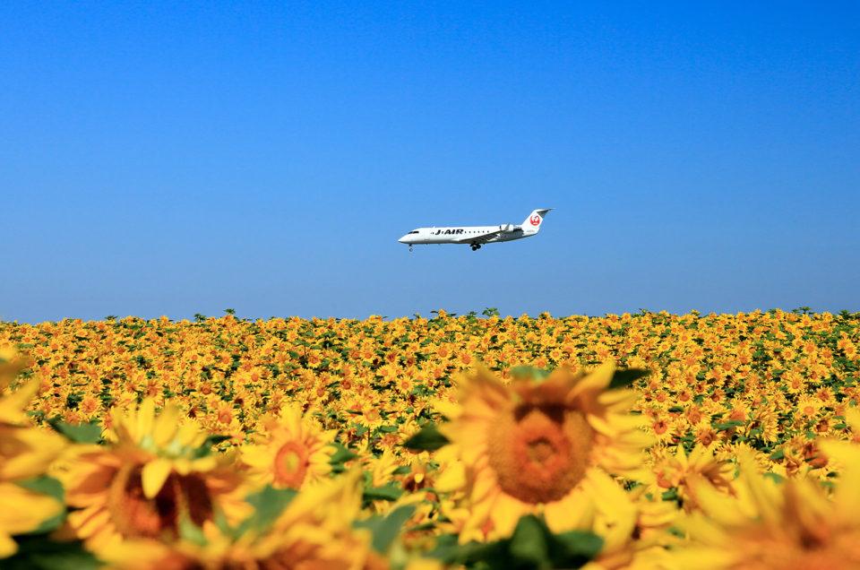 女満別空港のひまわり畑と小清水原生花園